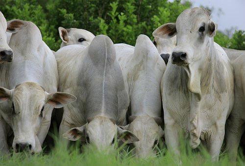 Fatores pré-abate que afetam a qualidade da carne