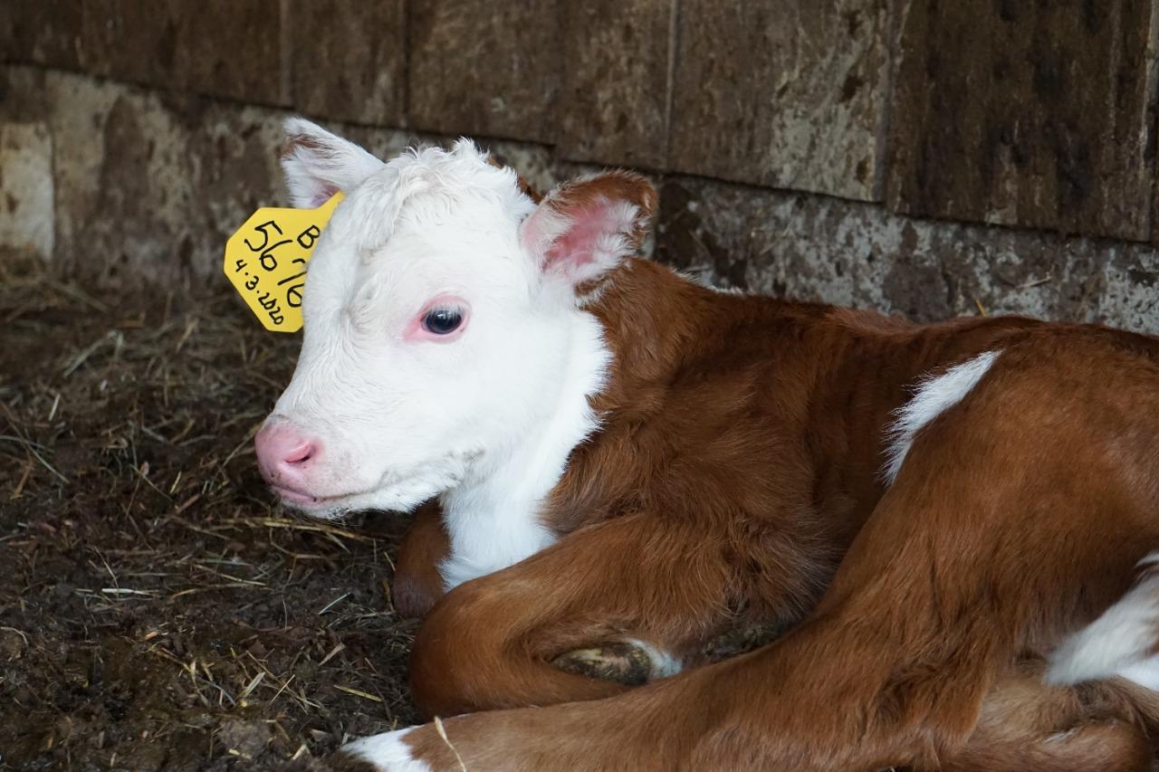 Manejo de bezerras leiteiras do nascimento à desmama