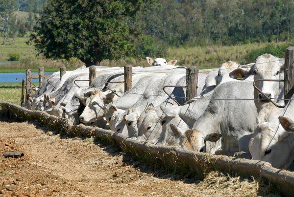 bovinos de corte