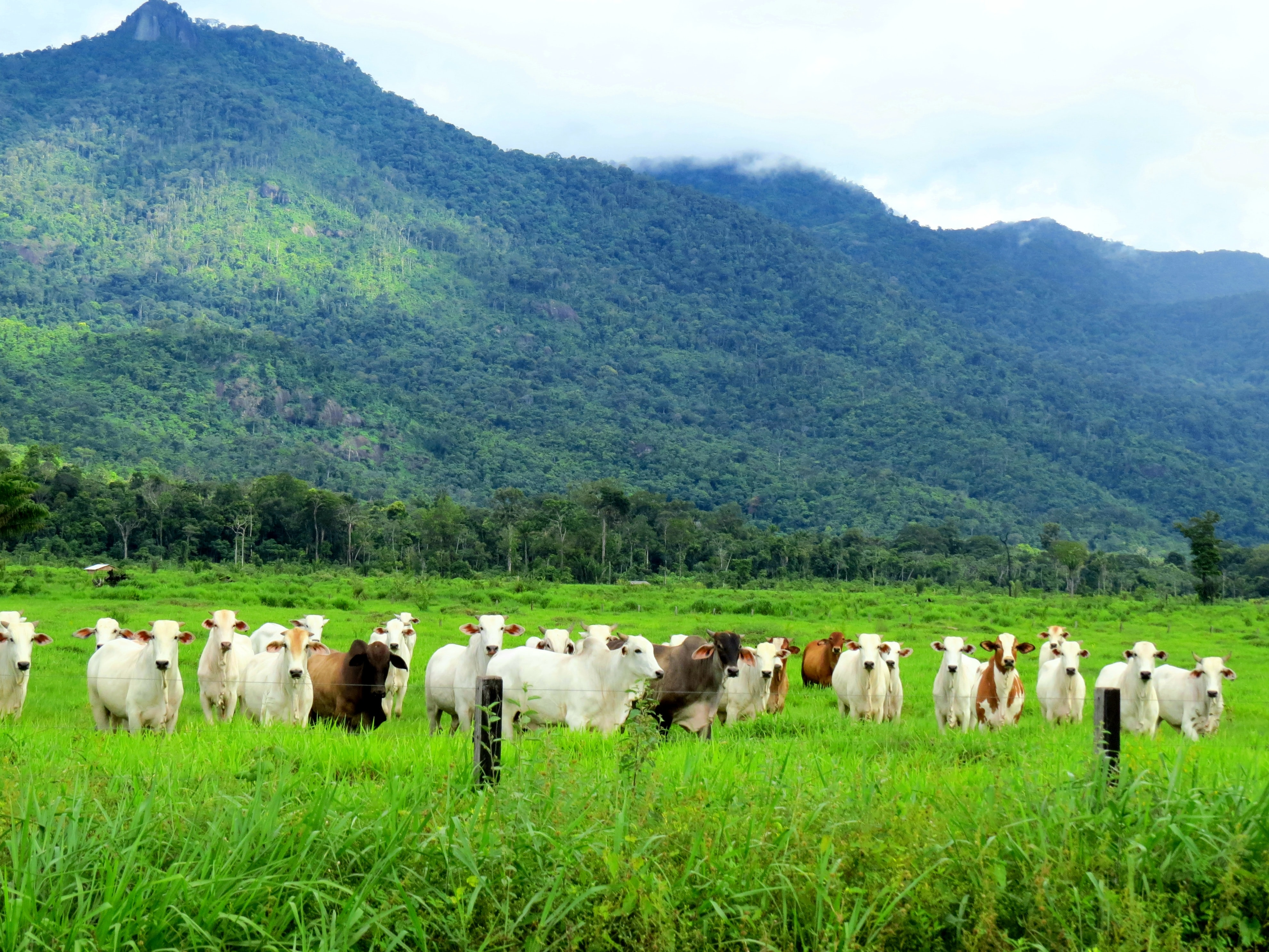 gado no pasto