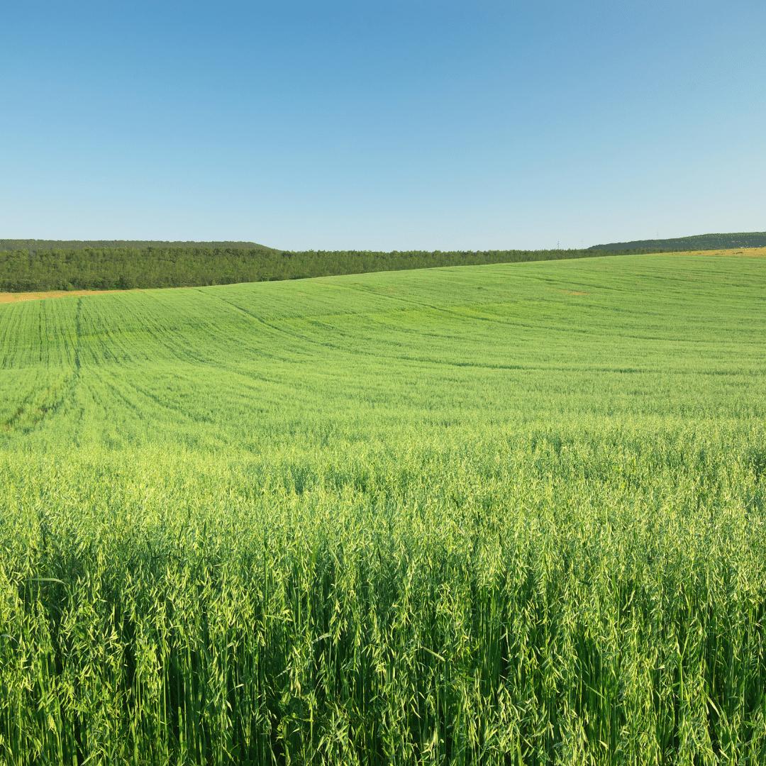A importância das pastagens de inverno na produção de leite