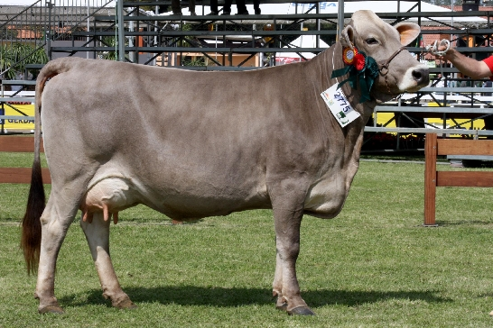 Vaca Pardo suiço