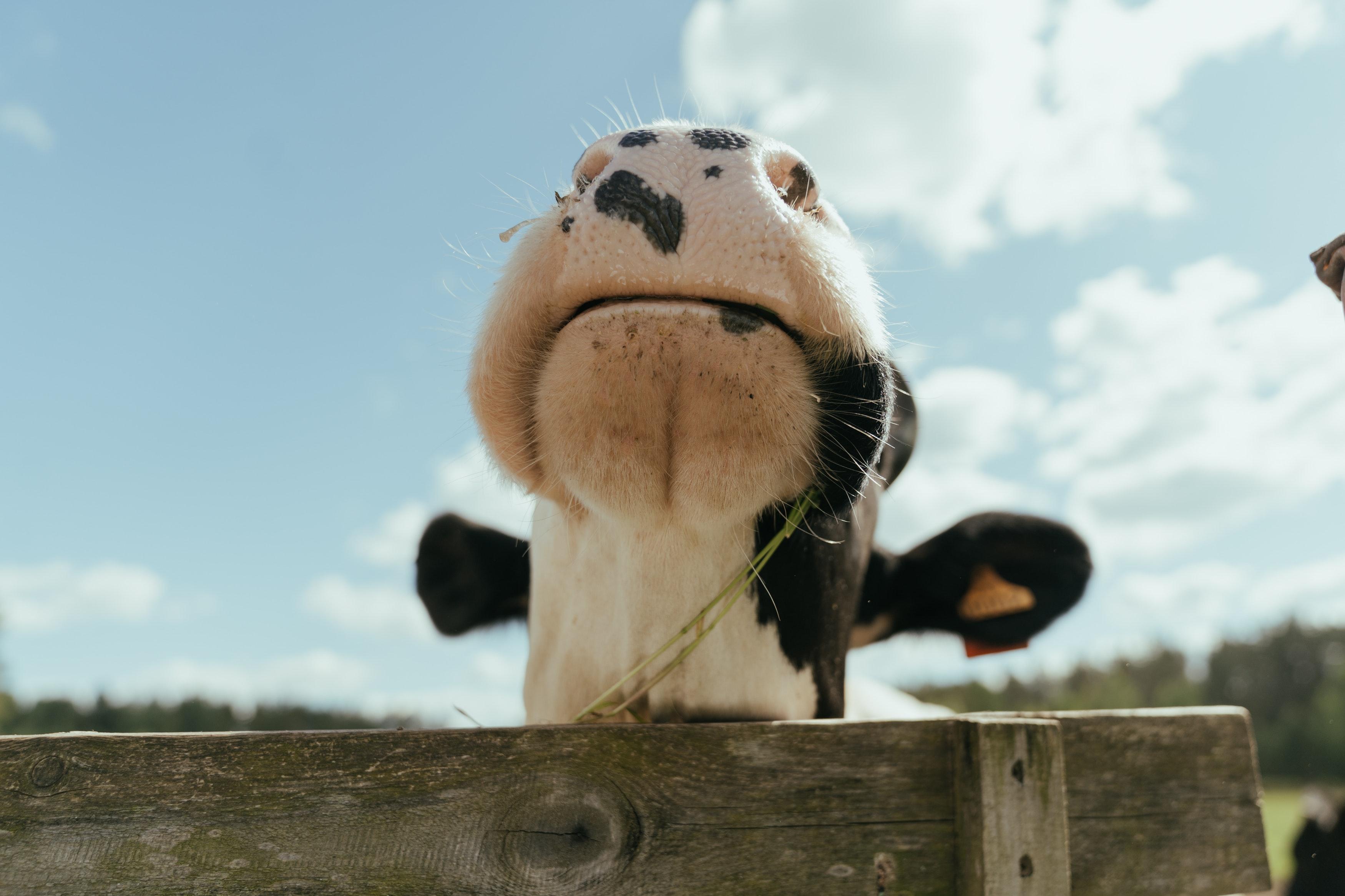 Focinho de uma vaca holandesa
