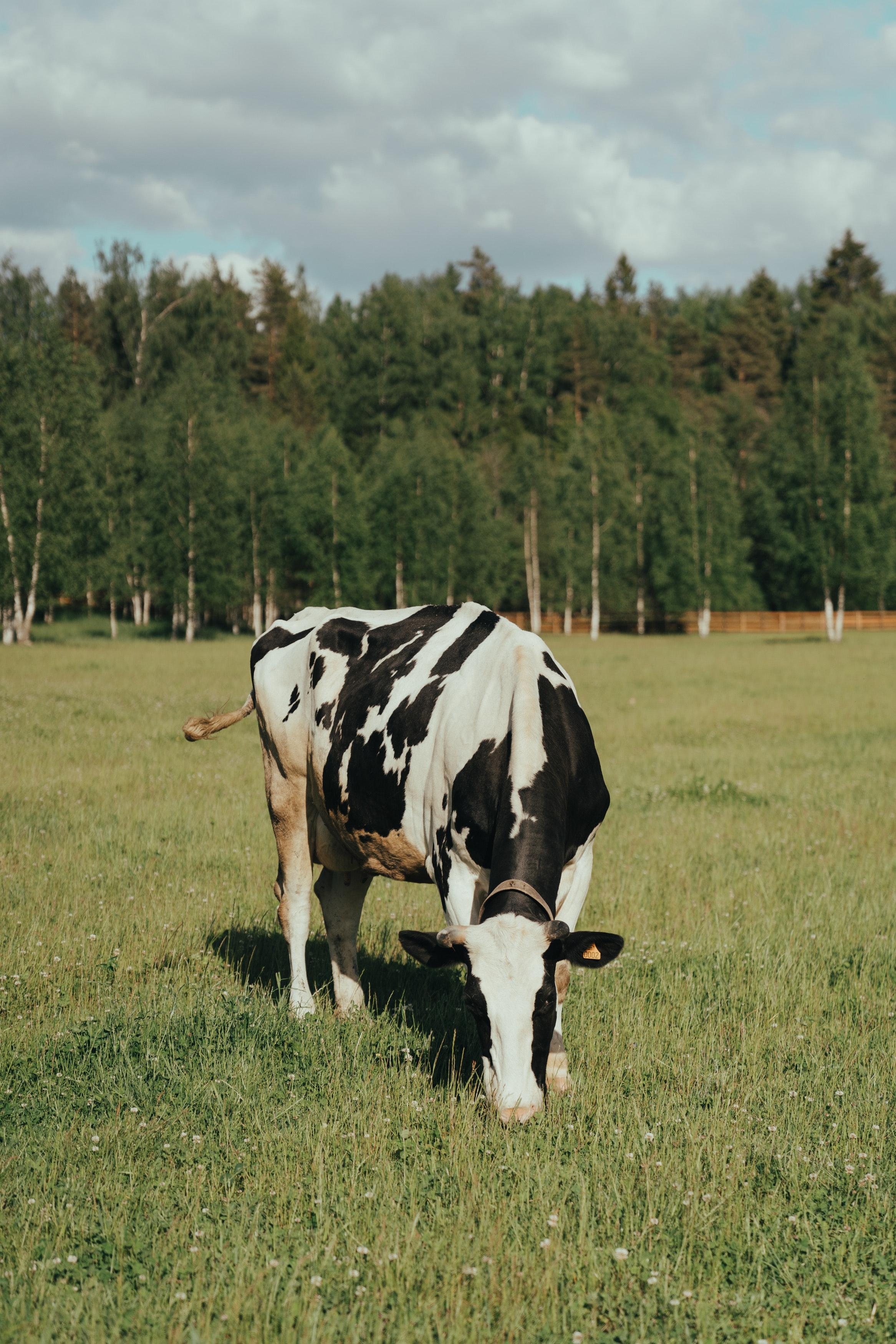Vaca leiteira pastejando
